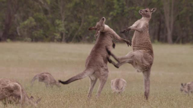 grey kangaroos fight in meadow, australia - känguru bildbanksvideor och videomaterial från bakom kulisserna