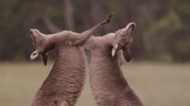grey kangaroos fight in meadow, australia - カンガルー点の映像素材/bロール