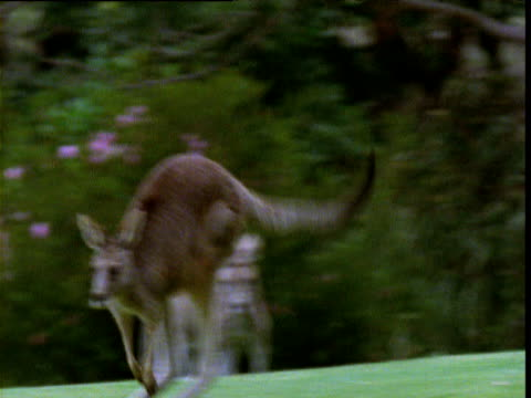Grey kangaroos play and graze on golf course green, Victoria, Australia