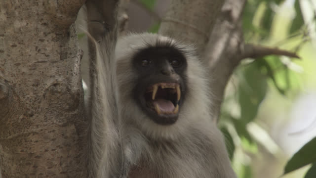 Grey langur monkey (Semnopithecus dussumieri) alarm calls in forest, Bandhavgarh, India