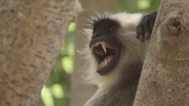grey langur monkey (semnopithecus dussumieri) alarm calls in forest, bandhavgarh, india - 動物の行動点の映像素材/bロール