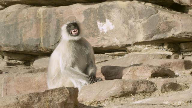 Grey langur monkey (Semnopithecus dussumieri) calls, Jodhpur, India