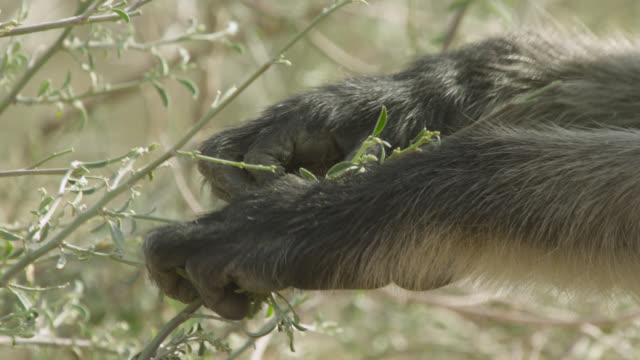 Grey langur monkey (Semnopithecus dussumieri) feeds on leaves, Jodhpur, India