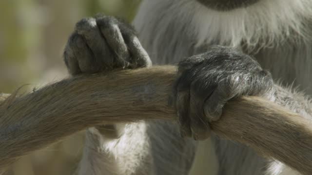 Grey langur monkey (Semnopithecus dussumieri) grooms another's tail, Jodhpur, India