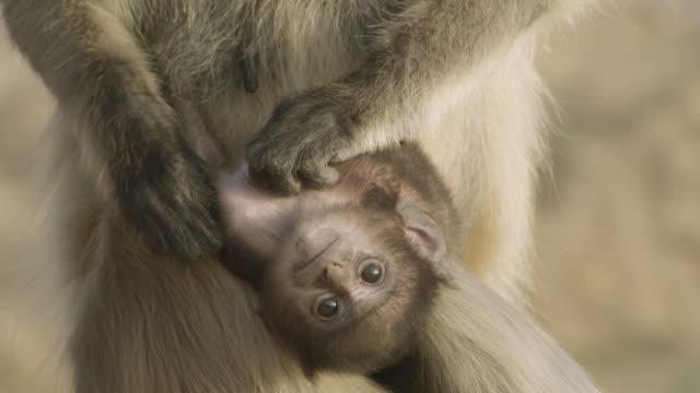 grey langur monkey (semnopithecus dussumieri) grooms dangling baby, jodhpur, india - upside down stock videos & royalty-free footage