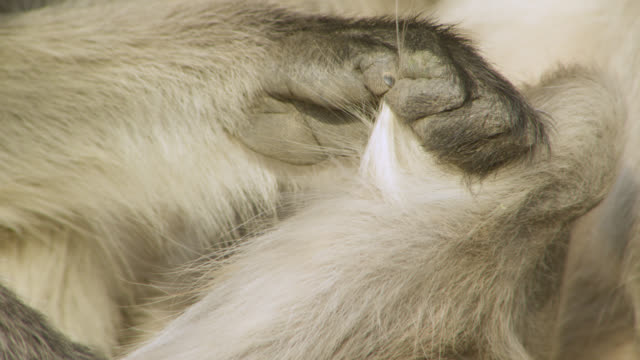 Grey langur monkey (Semnopithecus dussumieri) grooms its fur, Jodhpur, India