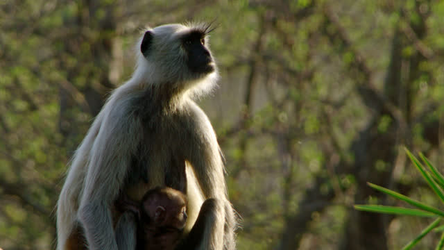vidéos et rushes de grey langur monkey holding her baby and walking on the rock - medium group of animals
