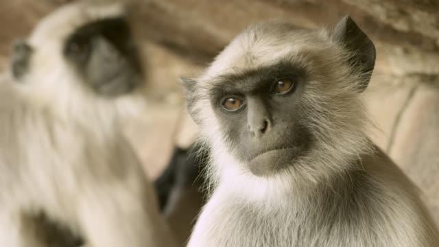 Grey langur monkey (Semnopithecus dussumieri) peers around, Jodhpur, India