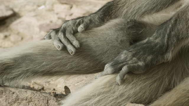 Grey langur monkey (Semnopithecus dussumieri) rests hands on thighs, Jodhpur, India