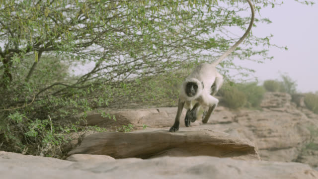 Grey langur monkey (Semnopithecus dussumieri) runs over rocks, Jodhpur, India