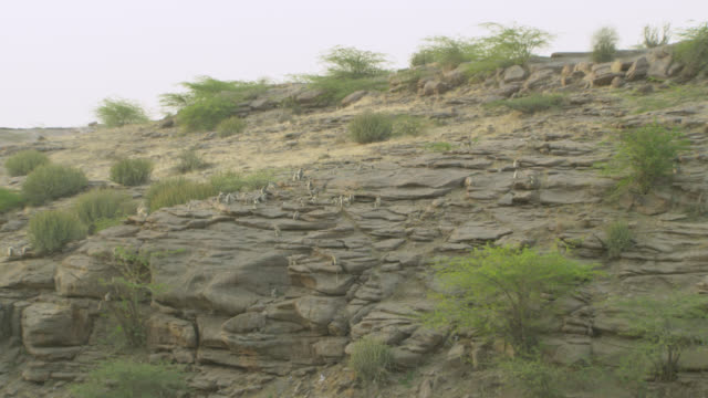 vidéos et rushes de grey langur monkey (semnopithecus dussumieri) troop on rocky outcrop, jodhpur, india - outcrop