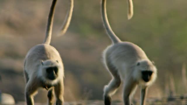 grey langur monkey with baby - herbivorous stock videos & royalty-free footage