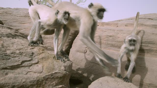 Grey langur monkeys (Semnopithecus dussumieri) clamber on rocks, Jodhpur, India