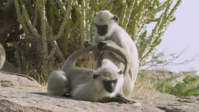 stockvideo's en b-roll-footage met grey langur monkeys (semnopithecus dussumieri) groom on rock, jodhpur, india - lichaamsverzorging