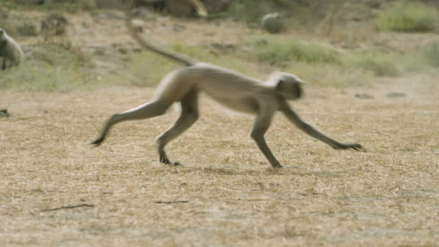 grey langur monkeys (semnopithecus dussumieri) leap, spin and play, jodhpur, india - grey colour stock videos & royalty-free footage