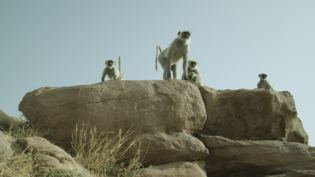 vidéos et rushes de grey langur monkeys (semnopithecus dussumieri) look around on rock outcrop, jodhpur, india - outcrop