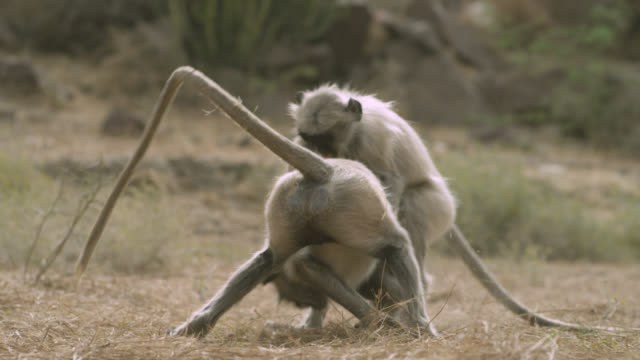 Grey langur monkeys (Semnopithecus dussumieri) play fight and rest, Jodhpur, India