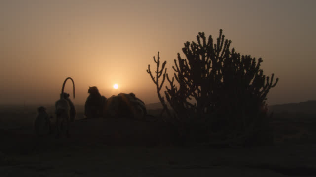 grey langur monkeys (semnopithecus dussumieri) rest at sunset, jodhpur, india - controluce video stock e b–roll
