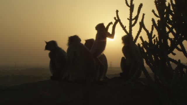 Grey langur monkeys (Semnopithecus dussumieri) rest at sunset, Jodhpur, India