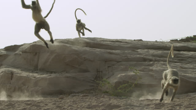 Grey langur monkeys (Semnopithecus dussumieri) run and leap from rocks, Jodhpur, India