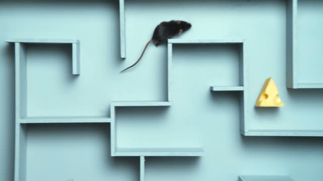 ha, ms, pan, grey mouse finding peace of cheese in maze - test drive stock videos & royalty-free footage