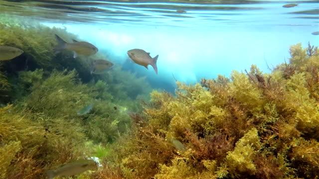 Tainhas no oceano Atlântico em Arquipélago dos Açores