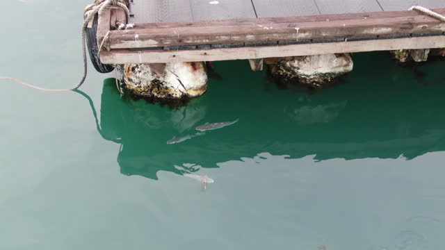 grey mullet swimming around fish farm / south korea - mullet fish stock videos & royalty-free footage