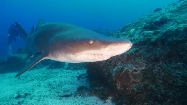 grey nurse shark (sand tiger shark) swimming close to camera - sand tiger shark stock videos and b-roll footage
