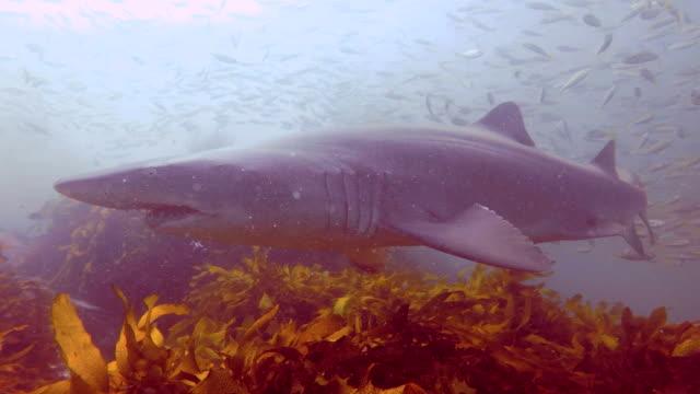 grey nurse shark - sand tiger shark stock videos and b-roll footage
