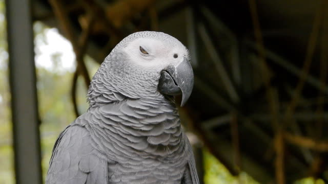 grey parrot - grey stock videos & royalty-free footage