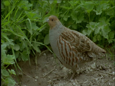grey partridge stretches its wings and pecks at grass - イーストアングリア点の映像素材/bロール