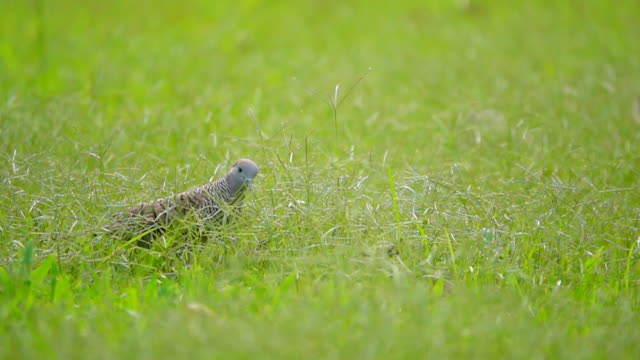 grey pigeon in grassland, slow motion - biodiversity stock videos & royalty-free footage