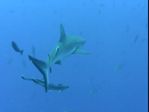 A grey reef shark and remoras swim past tropical fish.