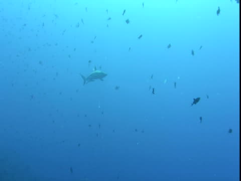 a grey reef shark and remoras swim slowly past dozens of red toothed triggerfish. - grey reef shark stock videos & royalty-free footage