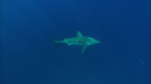 grey reef shark, carcharhinus amblyrhynchos, mid water, bahamas  - grey reef shark stock videos & royalty-free footage