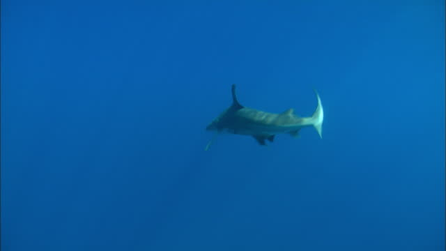 grey reef shark, carcharhinus amblyrhynchos, near surface, bahamas  - grey reef shark stock videos & royalty-free footage