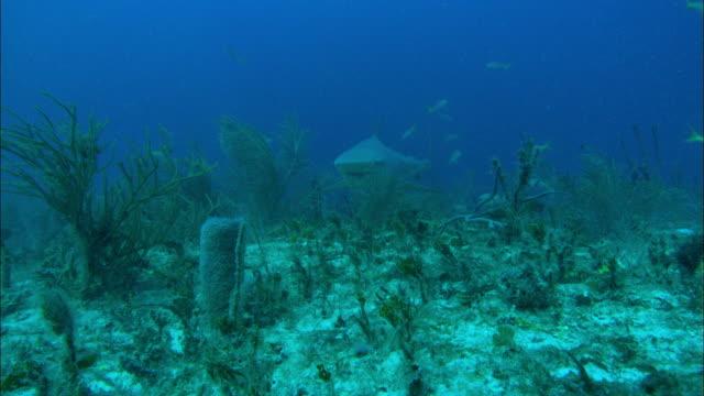 grey reef shark, carcharhinus amblyrhynchos, seabed, bahamas  - ペレスメジロザメ点の映像素材/bロール