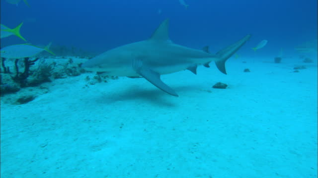 grey reef shark, carcharhinus amblyrhynchos, swim over seabed, bahamas  - grey reef shark stock videos & royalty-free footage