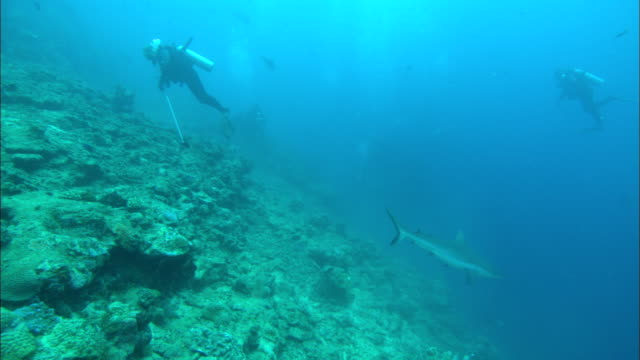 grey reef shark comes in to bait, tourists watch, fiji, south pacific  - grey reef shark stock videos & royalty-free footage