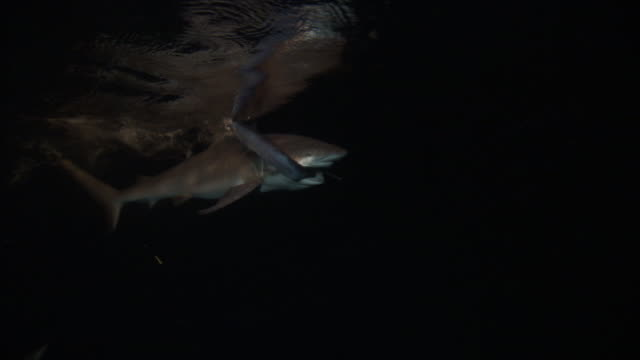 grey reef shark (carcharhinus amblyrhynchos) eats fish at night, pacific ocean - ペレスメジロザメ点の映像素材/bロール