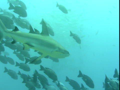 a grey reef shark moves past a large school of groupers. - grey reef shark stock videos & royalty-free footage