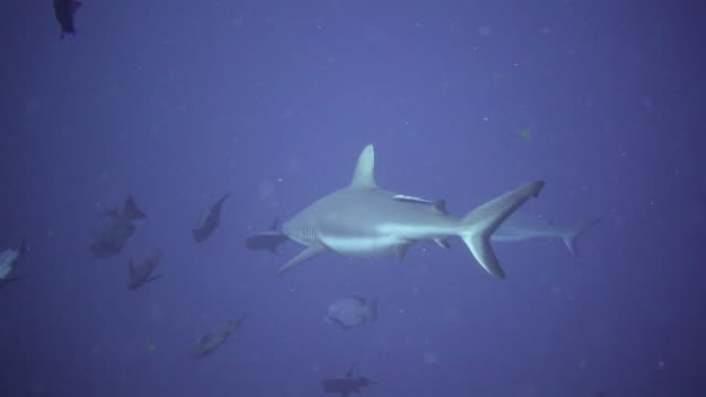 grey reef shark, palau - grey reef shark stock videos & royalty-free footage