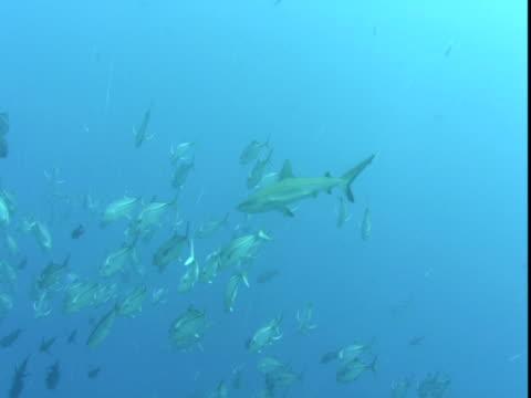 a grey reef shark parts a school of jacks. - grey reef shark stock videos & royalty-free footage
