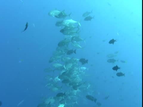 a grey reef shark passes schools of jacks in the pacific ocean. - grey reef shark stock videos & royalty-free footage