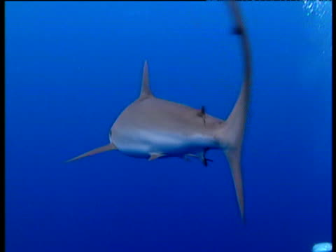 grey reef shark shoal swims in clear blue sea. - grey reef shark stock videos & royalty-free footage