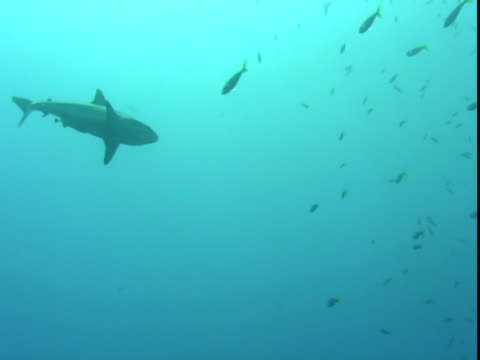 a grey reef shark slowly swims through a school of fish. - grey reef shark stock videos & royalty-free footage