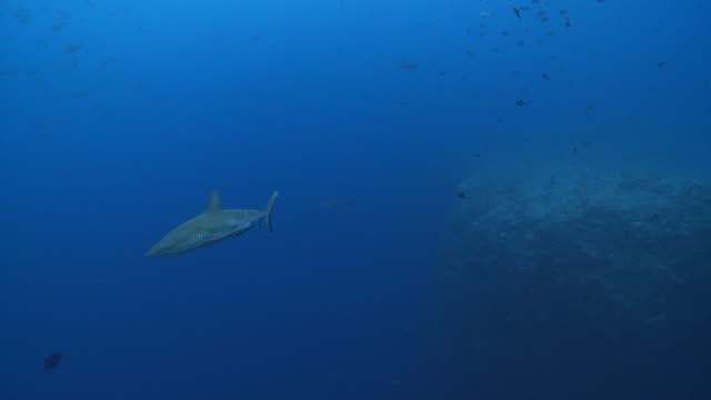 ms ts grey reef shark swimming in blue / palau, micronesia, palau  - grey reef shark stock videos & royalty-free footage