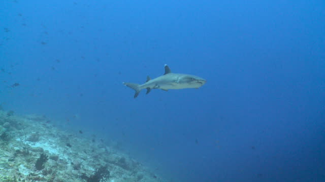 grey reef shark (carcharhinus amblyrhynchos) swimming over reef, profile, vaavu atoll, the maldives - grey reef shark stock videos & royalty-free footage