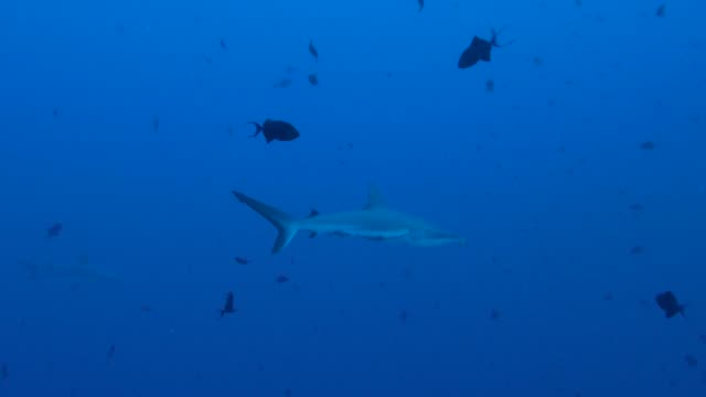 grey reef shark swimming undersea - grey reef shark stock videos & royalty-free footage