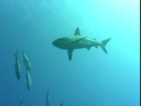 a grey reef shark swims around some schooling jacks in palau. - grey reef shark stock videos & royalty-free footage